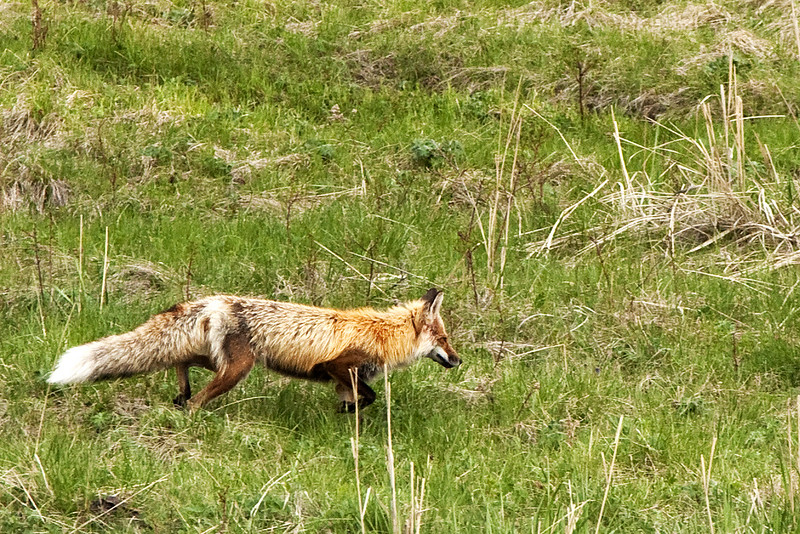 red fox wildlife in yellowstone